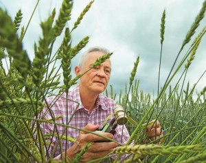 Wheat_expert_checking_plants_1
