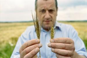 barley-ear-4-lowres (Syngenta)